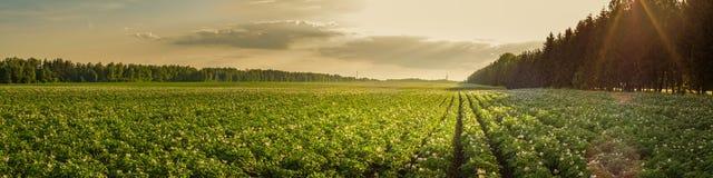 Landwirtschaftliche Landschaft des Sommers Kartoffelacker in den Strahlen der untergehenden Sonne stockbild