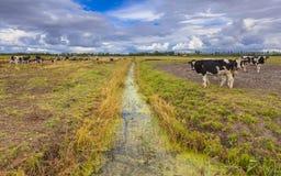 Landwirtschaftliche Landschaft mit Abzugsgraben und Kühen in Friesland, Netherl Stockbilder
