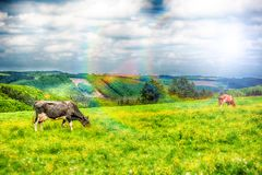 Landwirtschaftliche Landschaft mit Herde von Kühen Landwirtschaftliches backgroun Lizenzfreie Stockbilder
