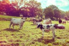 Landwirtschaftliche Landschaft mit Herde von Kühen Landwirtschaftliches backgroun Stockfotos