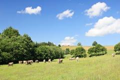 Landwirtschaftliche Landschaft mit Kühen Lizenzfreies Stockfoto