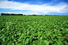 Landwirtschaftliche Landschaft mit neuem grünem Sojabohnenölfeld Stockfotos