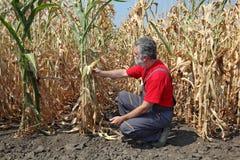 Landwirtschaftliche Szene, Landwirt oder Agronom kontrollieren Maisfeld Stockbild