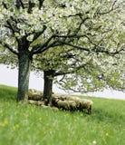 Landwirtschaftlicher Apfelbaum der Landschafts-Schweiz Aargau Hottwil stockbild