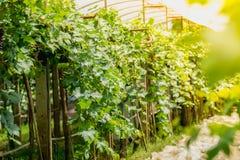 Landwirtschaftlicher Garten der Trauben Lizenzfreie Stockfotografie