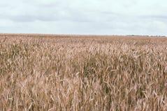 Landwirtschaftlicher Hintergrund mit den reifen Ährchen des Roggens Schönes Na Lizenzfreie Stockbilder