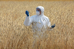 Landwirtschaftlicher Ingenieur auf Feld reife Ohren des Kornes überprüfend Stockfotos