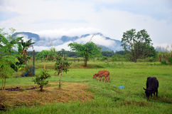 Landwirtschaftlicher Kuh-Bauernhof mit Gebirgsnamen Khao Oktalu Lizenzfreie Stockfotos