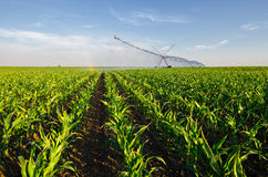 Landwirtschaftliches Bewässerungsmaisfeld des Bewässerungssystems auf sonnigem summ Lizenzfreies Stockbild