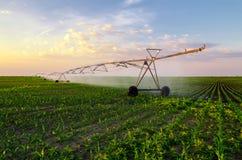 Landwirtschaftliches Bewässerungsmaisfeld des Bewässerungssystems am sonnigen Sommertag Stockbilder