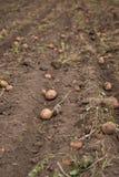 Landwirtschaftliches Feld, auf dem Kartoffeln ernten Lizenzfreies Stockfoto