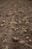 Landwirtschaftliches Feld, auf dem Kartoffeln ernten Stockfoto