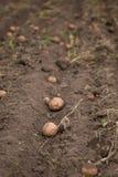 Landwirtschaftliches Feld, auf dem Kartoffeln ernten Lizenzfreie Stockfotografie