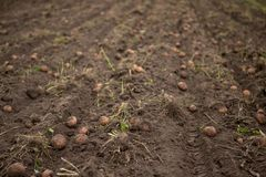 Landwirtschaftliches Feld, auf dem Kartoffeln ernten Stockbilder