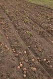 Landwirtschaftliches Feld, auf dem Kartoffeln ernten Lizenzfreies Stockbild