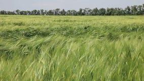 Landwirtschaftliches Feld, auf dem Weizen angebaut wird stock footage