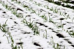 Landwirtschaftliches Feld des Winterweizens unter dem Schnee Lizenzfreie Stockfotografie