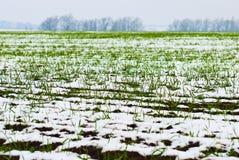Landwirtschaftliches Feld des Winterweizens unter dem Schnee Stockfotografie