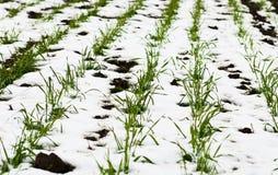 Landwirtschaftliches Feld des Winterweizens unter dem Schnee Stockfotos