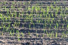 Landwirtschaftliches Feld mit Reihen des frischen grünen üppigen Grases Stockbild