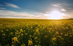 Landwirtschaftliches Feld von gelben Blumen, blühender Canola auf Sonnenunterganghimmel stockfotografie