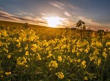 Landwirtschaftliches Feld von gelben Blumen, bl?hender Canola auf Sonnenunterganghimmel stockbilder