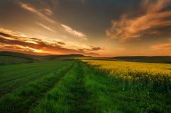 Landwirtschaftliches Feld von gelben Blumen, bl?hender Canola auf Sonnenunterganghimmel stockbild