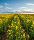 Landwirtschaftliches Feld von gelben Blumen, bl?hender Canola auf Sonnenunterganghimmel stockfoto