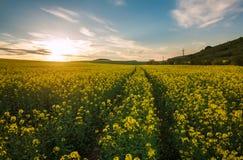 Landwirtschaftliches Feld von gelben Blumen, bl?hender Canola auf Sonnenunterganghimmel stockfotografie