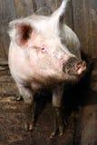 Landwirtschaftliches Schwein Stockfoto