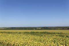 Landwirtschaftliches Sonnenblumenfeld Lizenzfreies Stockfoto