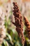 Landwirtschaftliches Sorghum auf einem natürlichen unscharfen Hintergrund stockbilder