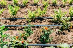 Landwirtschafts-Bewässerungssystem auf Gemüsefeld Stockfotografie