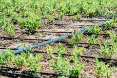 Landwirtschafts-Bewässerungssystem auf Gemüsefeld Lizenzfreie Stockbilder