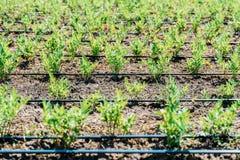 Landwirtschafts-Bewässerungssystem auf Gemüsefeld Lizenzfreie Stockfotos