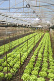 Landwirtschafts-Eisberg-Kopfsalat in Thailand Lizenzfreie Stockbilder