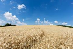Landwirtschafts-Feld mit Getreide-Anlagen Stockbild