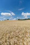 Landwirtschafts-Feld mit Getreide-Anlagen Stockfoto