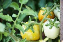 Landwirtschafts-gelbe thailändische Aubergine lizenzfreies stockfoto