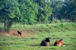 Landwirtschafts-Kuh-Bauernhof bei Phattalung Lizenzfreies Stockfoto
