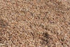 Landwirtschafts-Reis-Samen Stockfotografie