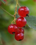 Landwirtschaftsbündel verlässt Gartenfrüchten makro gesunde frische süße Korinthenkirschen Betriebsbeeren Niederlassung rotes Fru Stockfotografie