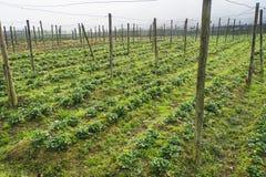 Landwirtschaftsbauernhof des Erdbeerfeldes in Vietnam DA-Lat ist alias ein Bereich für wissenschaftliche Forschung auf den Gebiet stockfotos