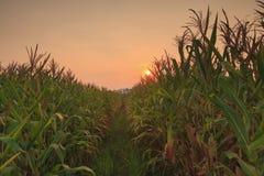 Landwirtschaftsbauernhof-Maisbereich mit Sonnenuntergang Stockfoto