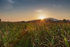Landwirtschaftsbauernhof-Maisbereich mit Sonnenuntergang Stockbild