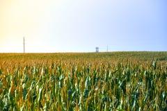 Landwirtschaftsfeld mit blauem Himmel Ländliche Natur im Ackerland Stroh auf der Wiese Gelbe goldene Ernte des Mais im Sommer Stockbild