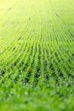Landwirtschaftsfeld mit, fruchtbare frische Grünpflanzen stockfotos