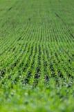 Landwirtschaftsfeld mit, fruchtbare frische Grünpflanzen stockfotografie