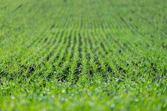 Landwirtschaftsfeld mit, fruchtbare frische Grünpflanzen lizenzfreie stockbilder