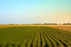 Landwirtschaftsgrünfeld mit blauem Himmel Ländliche Natur im Ackerland Stroh auf der Wiese Gelbe goldene Ernte des Weizens im Som Stockbilder